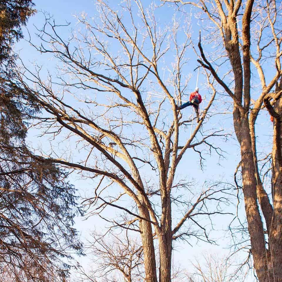 Tree Care Expert Climbing