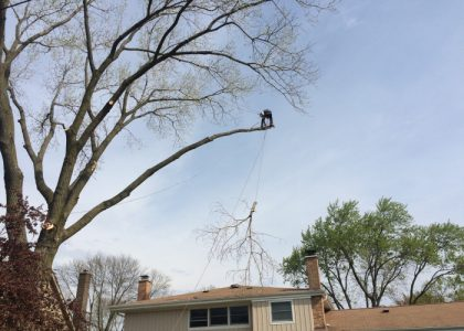 tree pruning in Chicago