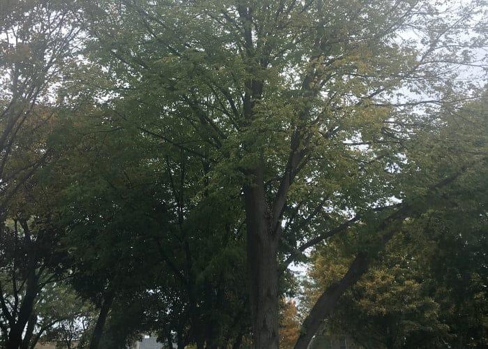 chicago trees