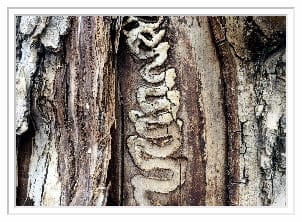 emerald ash borer marks