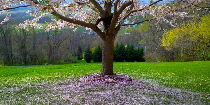 Flowering Spring Tree